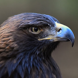Zlaty, Golden Eagle by Roy Walter - Animals Birds ( captivity, animals, golden eagle, birds )