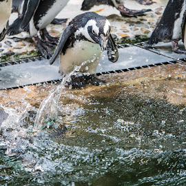 Best way to escape the heat by Tiong Ghee Tan - Animals Sea Creatures ( zoo, penguin, singapore, photography,  )