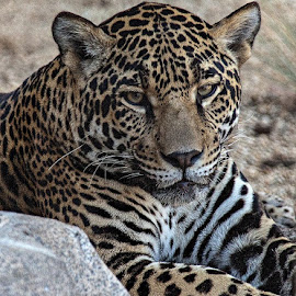 Nice Kitty! by Brent Morris - Animals Lions, Tigers & Big Cats