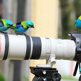 Tanagers by Itamar Campos - Animals Birds ( saíra sete cores )