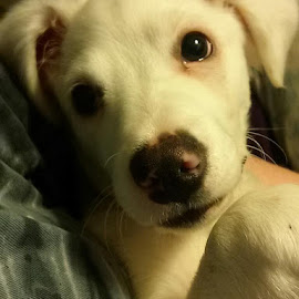 Just Look at this face! by Amanda Justice - Animals - Dogs Puppies