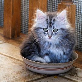 Kitty Dish by Tanya Groves - Animals - Cats Kittens ( grey kitty, kitten, fluffy, dog dish, cute, kitty )