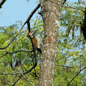Black-ruped flameback