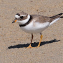 Common Ringed Plover, Chorlitejo grande