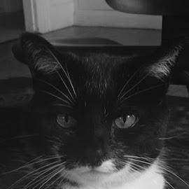 by Hazel Malmede - Animals - Cats Portraits