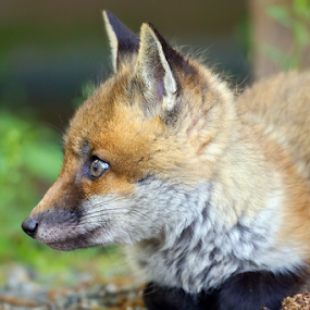 Wild Fox Kit by Herb Houghton - Animals Other Mammals