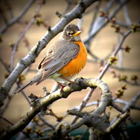 North American Robin by Patti Hobbs - Animals Birds ( birds animals north american robin )