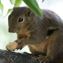 Plantain Squirrel