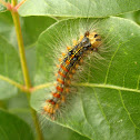 Gypsy Moth Caterpillar / Gusjenica