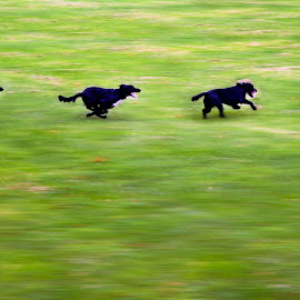 Bart by Greg Brzezicki - Animals - Dogs Playing ( grass, day, dog, running, black )