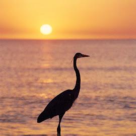 Great Blue Heron sunset by Walter Carlson - Animals Birds ( great blue heron, backlit, florida, sunset, gulf )