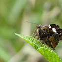 Falcate Skipper