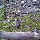 Juvenile Timber Rattlesnake