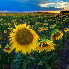 Campo de girasoles by Eduardo Menendez Mejia - Landscapes Prairies, Meadows & Fields ( girasoles, sunflower, menendez, eduardo, nikon, d5100 )