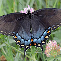 Tiger Swallowtail, female, dark color form