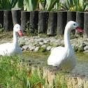 Cisnes Coscoroba
