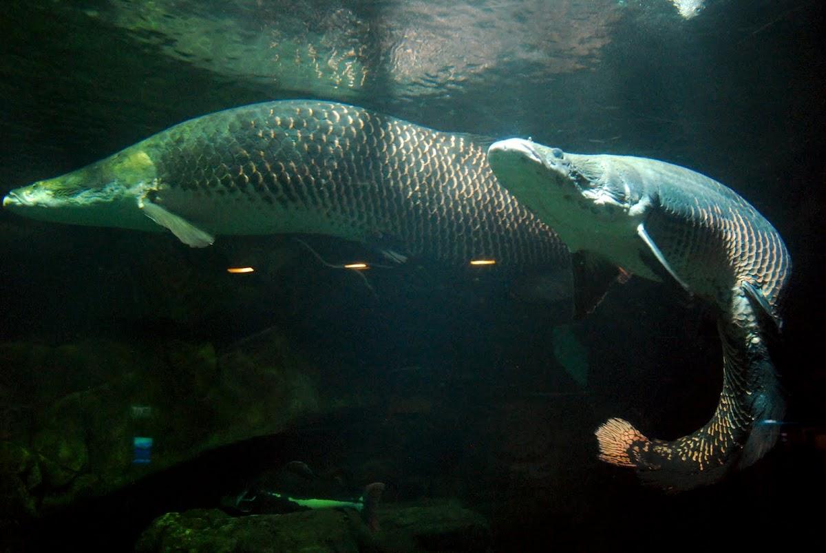 arapaima pirarucu paiche arapaima gigas tropical freshwater fish ...