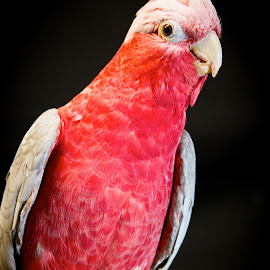 Rose Parrot3 by Bonnie Marquette - Animals Birds ( bird, rose, red, avian, pet, parrot, portrait, animal )