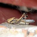 Tree locust