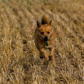 On the stubble by Gill Kennett - Animals - Dogs Running ( stubble, terrier, dog, running, small )