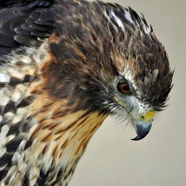 Red-Tailed Hawk 3 by Marco Bertamé - Animals Birds ( bird, wild, red-tailed hawk, portrait, profile, hawk,  )