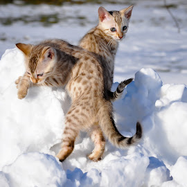 Beautiful Pair Of Snow Bengals by Rob Ebersole - Animals - Cats Kittens ( snow, leopards, kittens snow, maplewood bengals, bengal )