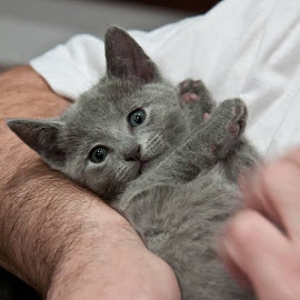 Grey Kitten by Aleksander Cierpisz - Animals - Cats Kittens ( russian blue, pedigree, kitten, on hands, grey, portrait )