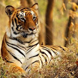 by S Balaji - Animals Lions, Tigers & Big Cats ( animals, nature, tiger, upclose, bigcats, bannerghatta national park,  )