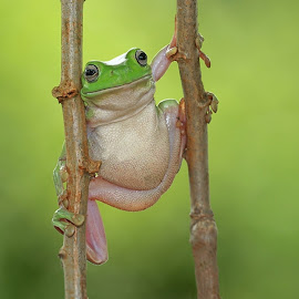 EGRANG FROG by Thomp Jerry - Animals Amphibians ( macro, macro photography, art, frogs, amphibians )