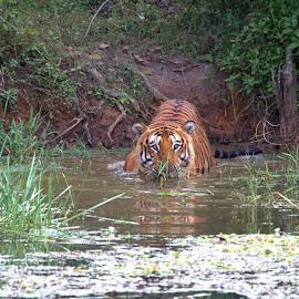 tiger  by Prajwal Rajappa - Animals Lions, Tigers & Big Cats