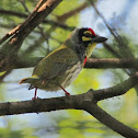 Coppersmith Barbet or Crimson-breasted Barbet or Coppersmith