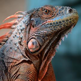 Red Iguana by Ajar Setiadi - Animals Reptiles (  )