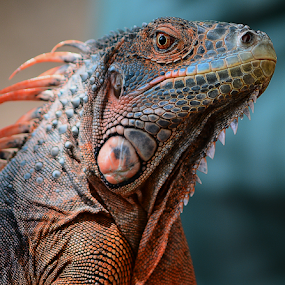Red Iguana by Ajar Setiadi - Animals Reptiles (  )