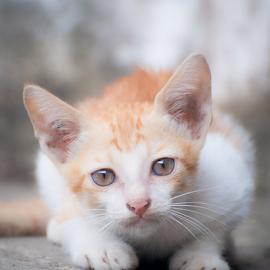 by Martin Marthadinata - Animals - Cats Kittens