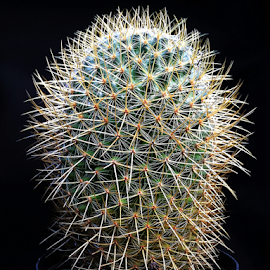 Cactus by Martha van der Westhuizen - Instagram & Mobile iPhone ( black background, succulent, patterns, spikes, clusters, textures, cactus )