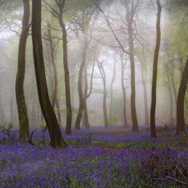Spring Woods by Ceri Jones - Landscapes Forests ( season, fog, trees, woods, spring, bluebells, mist )