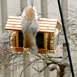 Acrobatic squirrrel by Brian Shoemaker - Novices Only Wildlife ( nature, acrobat, backyard, squirrel, feeder )