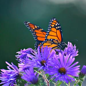 fl36 butterfly.jpg