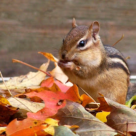 Yummmm! by Betty Arnold - Animals Other Mammals ( chipmunk, mammal, small animal, animal,  )