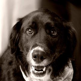 Bailey by Pamela NavarraWilliams-Shane - Animals - Dogs Portraits ( canine, sepia, border collie, black and white, beautiful dog, dog )