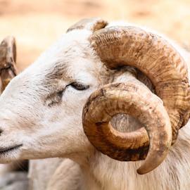RAM by Cara Thomas - Animals Other ( #ram, #animals, #goat, #horns, #wildlifesanctuary )
