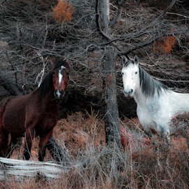 White & Brown by Celina Ortelli - Animals Horses ( villa la angostura, 2014, caballos, animales, invierno, naturaleza )