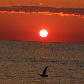Sunrise flight by Cheryl Thomas - Landscapes Beaches ( seagull, ocean, beach, sunrise, morning )