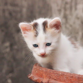 Innocence by Sayak Bhar - Animals - Cats Kittens ( cats, kitten, pet, cute, inoccent, eyes )