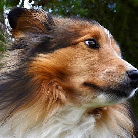 Something in the Wind by Tim Hall - Animals - Dogs Portraits ( close up dog, shetland sheepdog, dog, sheltie, portrait )