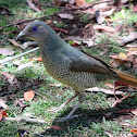 Satin Bowerbird (female or juvenile male)