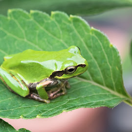 Tree frog by Masaki Yamamoto - Animals Amphibians ( japan, season, frog, creature, green, tree frog, summer,  )
