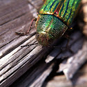 Golden Buprestid Beetle