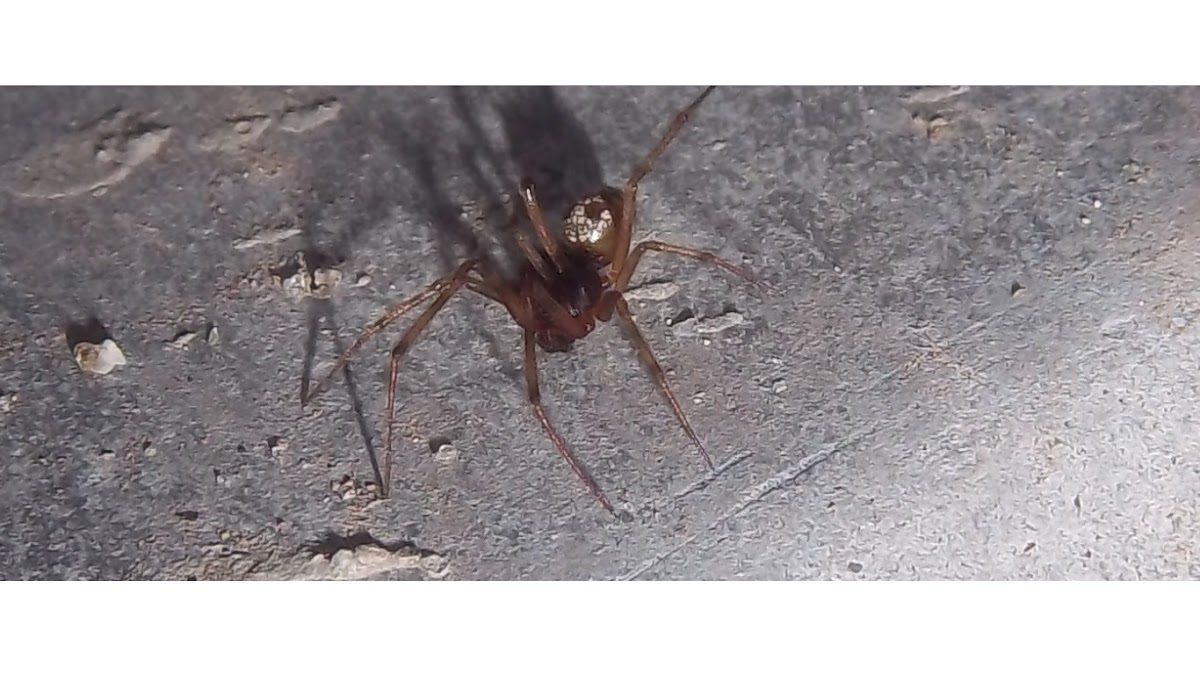Liitle Brown-Red Spider
