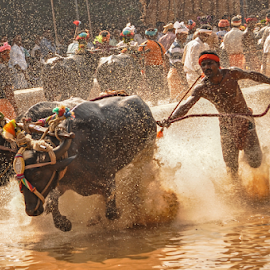 Kambla (Buffalo Race) by Ramya Raju - News & Events Entertainment ( kambla, india., speed, tulunadu, buffalo race, karnataka,  )